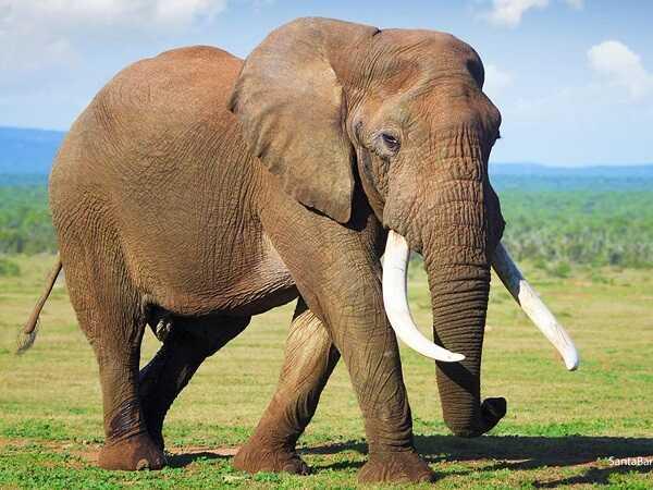 Khám phá bí mật đằng sau giấc mơ thấy voi là gì?