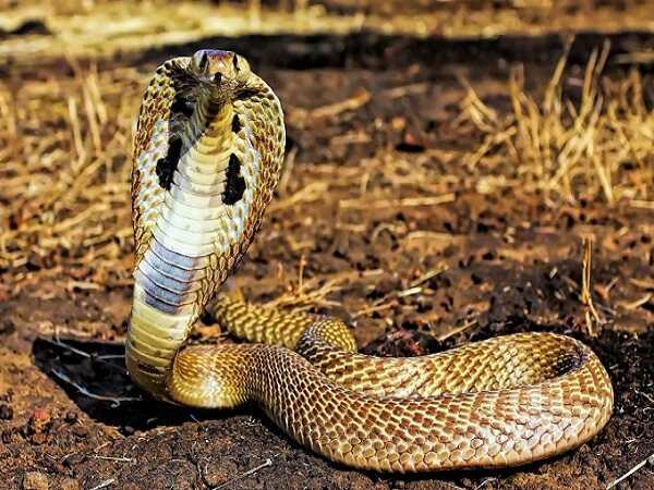Nằm mơ thấy rắn hổ mang là điềm gì, đánh cosn gì chắc ăn?