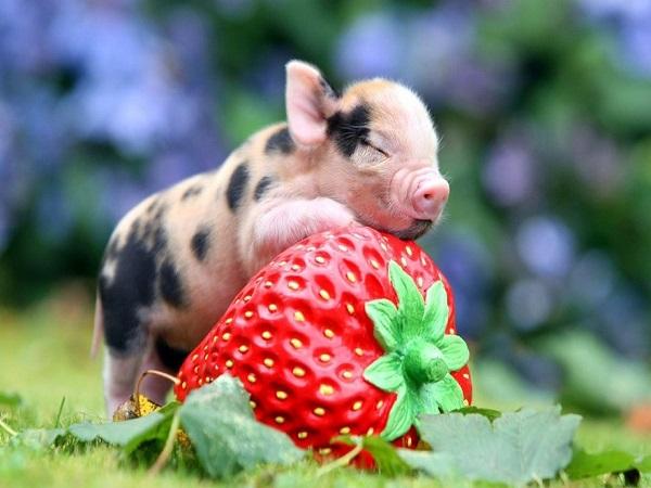 Ngủ mơ thấy lợn, heo là điềm báo gì ? đánh đề số mấy chắc ăn nhất ??